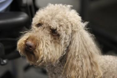 bruno-office-dog-2
